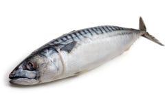 mackerel Arkivbilder