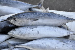 Mackerel. Fresh fish a mackerel just caught Royalty Free Stock Photo
