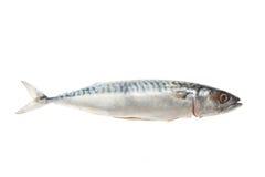 Mackerel. Single Mackerel fish isolated on a white background stock photography
