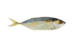 Mackerel or Aji isolated on white Royalty Free Stock Images
