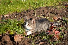A mackerel cat lies on a field and lurks stock photo