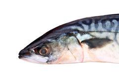 Mackerel Closeup. Single Mackerel Fish Mackerel Closeup on a white background Stock Photos