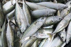 Mackerel fish. Fresh raw mackerel fish in market Stock Images