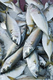 Mackerel fish. Fresh raw mackerel fish in market, Thailand Royalty Free Stock Photo