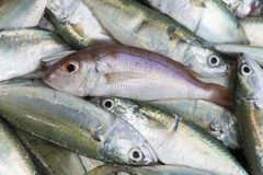 Mackerel fish. Fresh raw red snapper and mackerel fish in market Stock Photos