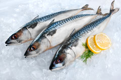 Mackerel fish on ice. Fresh mackerel fish (Scomber scrombrus) on ice Stock Photos