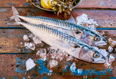 Mackerel fish on ice with copy space Stock Photo