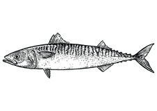 Mackerel fish illustration, drawing, engraving, line art, realistic. Mackerel, what made by ink, then it was digitalized Stock Images