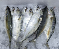 Mackerel Fish from India Ocean Stock Photo
