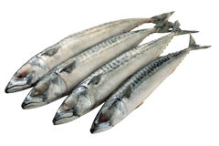 Mackerel fish isolated. Four mackerel fish in a row isolated Stock Image