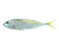 Mackerel fish isolated. A mackerel fish isolated on white Royalty Free Stock Image
