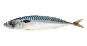Mackerel fish isolated. On a white Royalty Free Stock Image