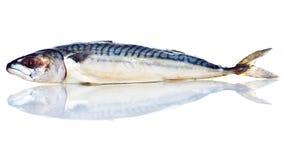 Mackerel Fish Isolated on White Background Royalty Free Stock Photos