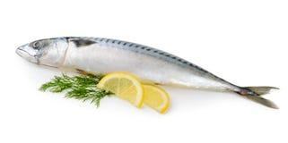 Mackerel fish isolated Royalty Free Stock Images