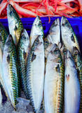 Mackerel fish from mediterranean stacked Royalty Free Stock Photo
