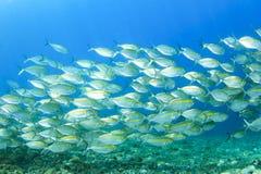 Mackerel Fish Royalty Free Stock Images