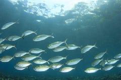 Mackerel Fish Royalty Free Stock Photography