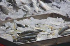 Mackerel fish at Thai fresh food market Stock Images