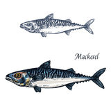 Mackerel fish vector isolated sketch icon. Mackerel fish vector sketch icon. Isolated sea scomber or atlantic scombridae fish species. Isolated marine fauna Stock Photography