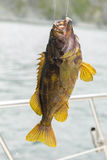 Mackerel on hook. Bottom sea fishing in the Pacific near Kamchatka. Royalty Free Stock Photos