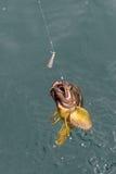Mackerel on hook. Bottom sea fishing in the Pacific near Kamchatka. Royalty Free Stock Photo