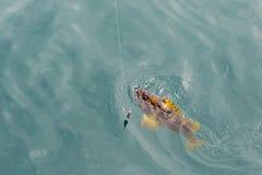 Mackerel on hook. Bottom sea fishing in the Pacific near Kamchatka. Stock Photo