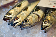 Mackerel on ice Royalty Free Stock Images