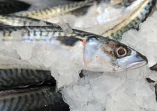 Mackerel on ice Stock Photo