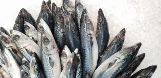 Mackerel on ice in the supermarket. Dead raw frozen Japanese fish called Saba for cooking. Fresh sea saltwater unpacking scomber. Fish with nutrition and omega royalty free stock image