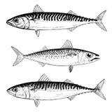 Mackerel Illustrations. Hand Drawn Mackerel Vector illustrations.  Chub, Blue and Atlantic Mackerel Stock Images