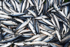 Mackerel in market Stock Photography