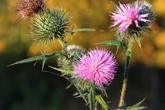 Marsh mite cirsium palustre Royalty Free Stock Images