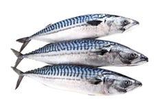 Mackerel raw fishes isolated on white. royalty free stock image
