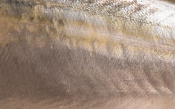 Mackerel scales, close-up - natural texture and background Royalty Free Stock Photography