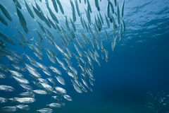Mackerel school feeding Royalty Free Stock Images