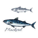 Mackerel sea fish sketch for seafood design. Mackerel sea fish isolated sketch. Atlantic mackerel predatory fish with silver blue body and wavy black lines on Royalty Free Stock Images