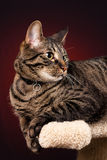Mackerel Tabby Cat. A mackerel tabby cat on a scratching post with a red background stock photos