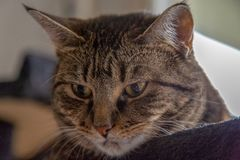Mackerel Tabby cat close head shot looking down stock images
