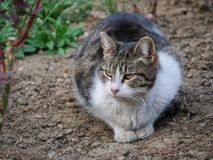 Mackerel tabby cat lies in the flower garden. Near a garden lamp royalty free stock images