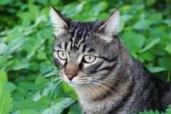 Tabby cat in the garden Royalty Free Stock Photography