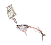 Mackerel to eat banknote dollar Stock Images