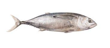 Mackerel Tuna Fish II Stock Images