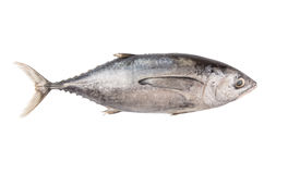 Mackerel Tuna Fish VI Stock Image