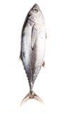 Mackerel Tuna Fish VII Stock Photography