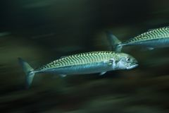 Mackerels Stock Image