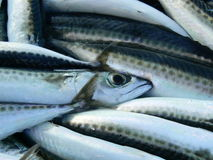 Mackerels Stock Images