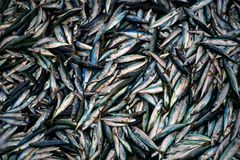 Mackerels at the market in a big pile stock images