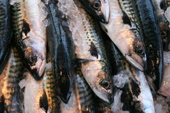 Mackerels (Scomber scombrus) Royalty Free Stock Images