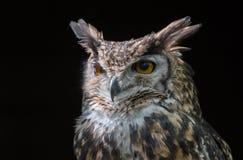 MacKinders eagle owl Stock Photos