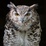 Mackinders eagle owl staring. Close up head portrait of a mackinders eagle owl Bubo capensis mackinderi staring directly forward with a dark background square Royalty Free Stock Image